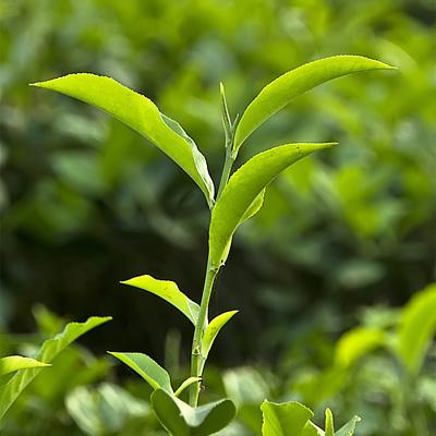 مخلوط چای سبز