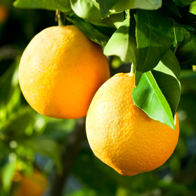 درخت-پرتقال