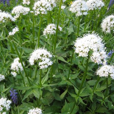 گیاه-سنبل-الطیب